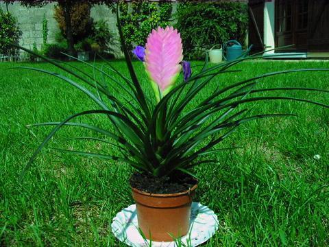 Plantas de interior pluma espina de cristo palmera - Planta interior palmera ...