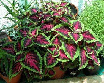 Plantas de interior azalea tradescantia coleo y dr cena for Plantas ornamentales de exterior