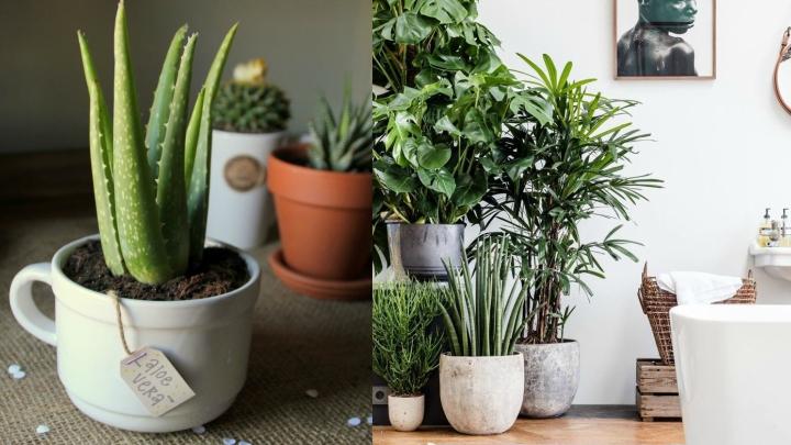aloe vera planta resistente