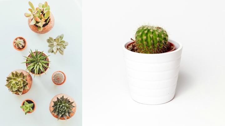 plantas-oficina-cactus