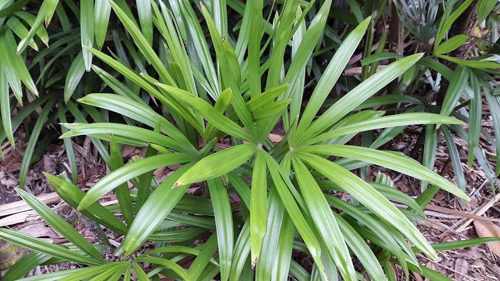 Palmera-de-bambu
