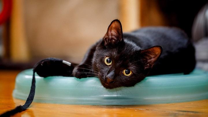 gato-negro-en-casa
