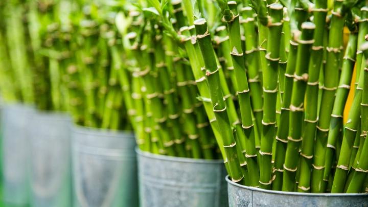 bambu-buena-suerte