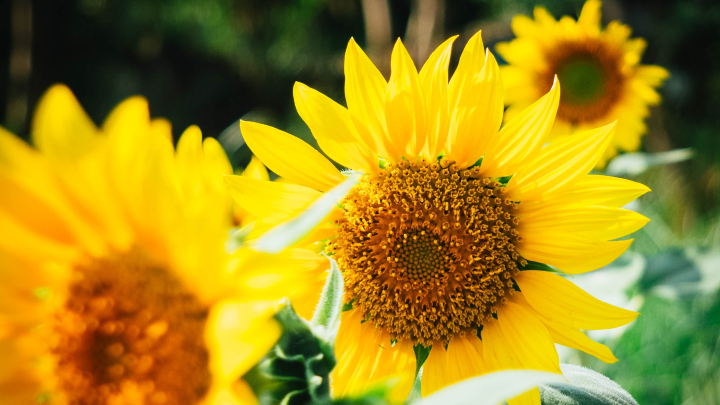 ideas-flores-verano-girasoles