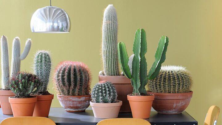 cactus-plantas