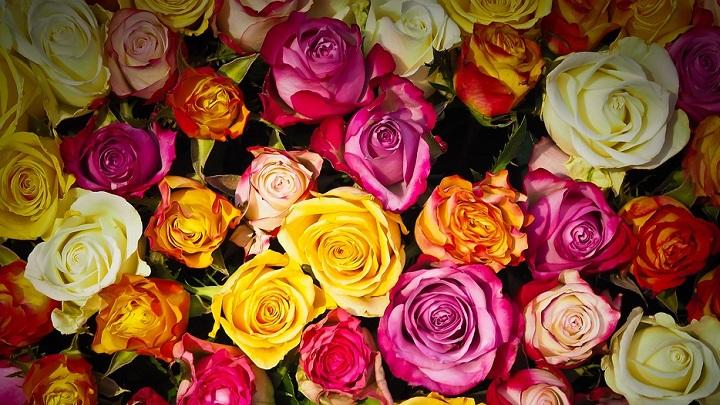 rosas-de-colores