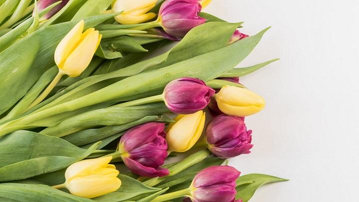 flores-tulipanes